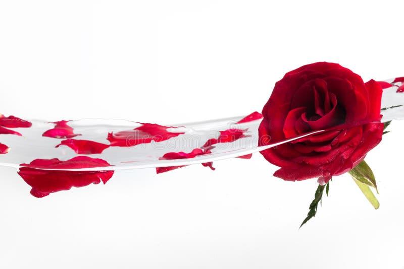 czerwieni róży woda obraz royalty free