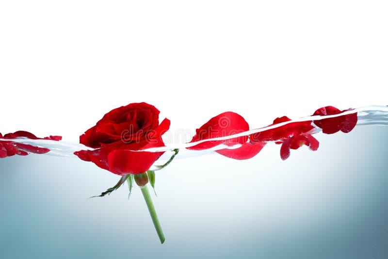 czerwieni róży woda zdjęcia royalty free