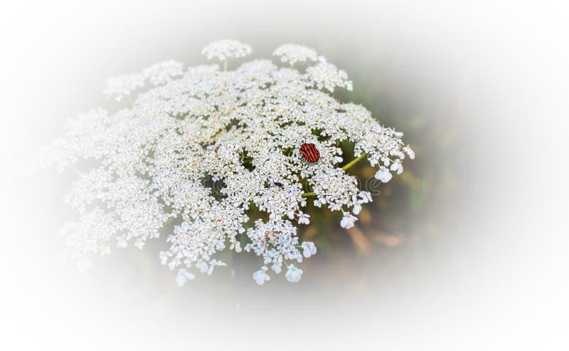 Czerwona ściga na białym kwiacie zdjęcia stock