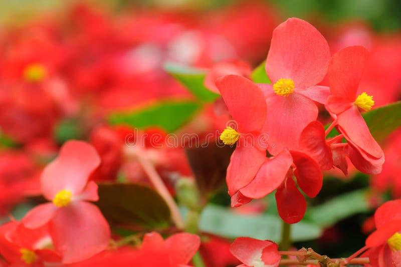 Czerwona begonia kwitnie w ogródzie zdjęcie royalty free