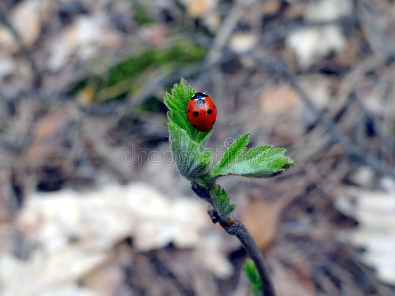 Czerwona biedronka na zielonym liściu na gałąź obraz royalty free