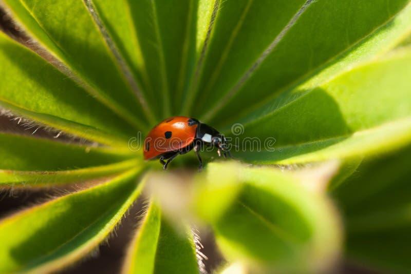 Czerwona biedronka na zielonym liściu, ladybird skrada się na trzonie roślina w s obrazy royalty free