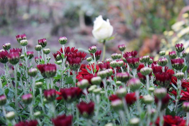 Czerwona chryzantema w ogródzie zdjęcie stock