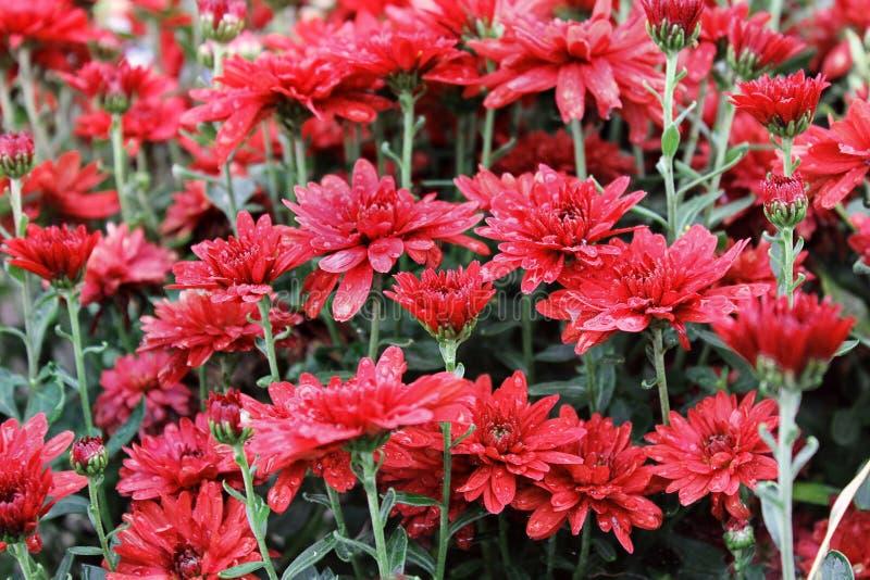Czerwona chryzantema w ogródzie fotografia stock