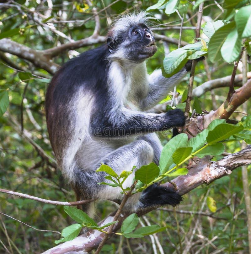 Czerwona Colobus małpa, Zanzibar zdjęcia stock