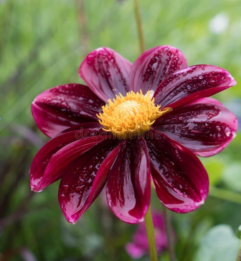 Czerwona dalia na pięknym zamazanym tle w ogródzie na wyspie Mainau w Niemcy obraz royalty free
