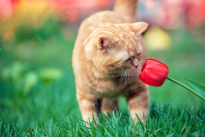 Czerwona figlarka obwąchuje tulipanowego kwiatu zdjęcia royalty free
