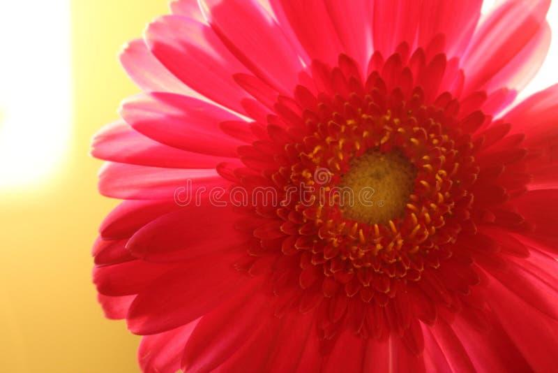 Czerwona gerber stokrotka z jaskrawym płatka zbliżeniem w świetle słonecznym fotografia royalty free