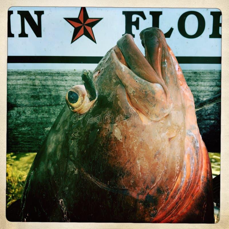 Czerwona grouper ` s głowa obraz royalty free