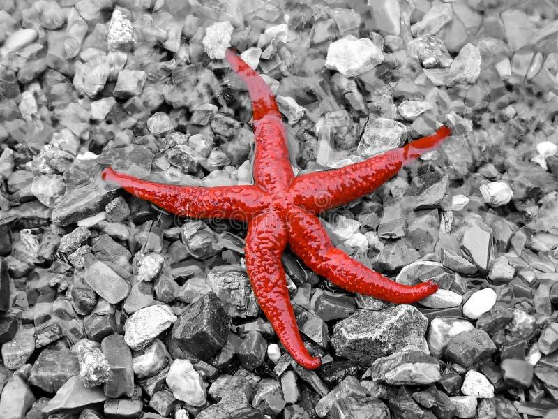 czerwona gwiazda morska obraz stock