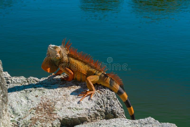 Czerwona iguana zdjęcie royalty free