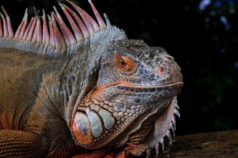 Czerwona iguana kierownicza i pomarańczowa szyja chrustowa z piękną skórą trzyma dalej szalunek obraz royalty free