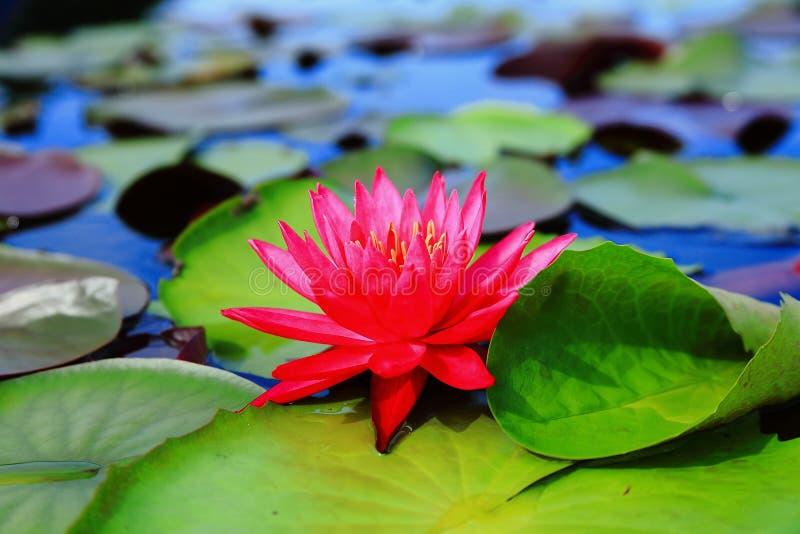 Czerwona Indiańska Wodna leluja (Nymphaea rubra) zdjęcie royalty free