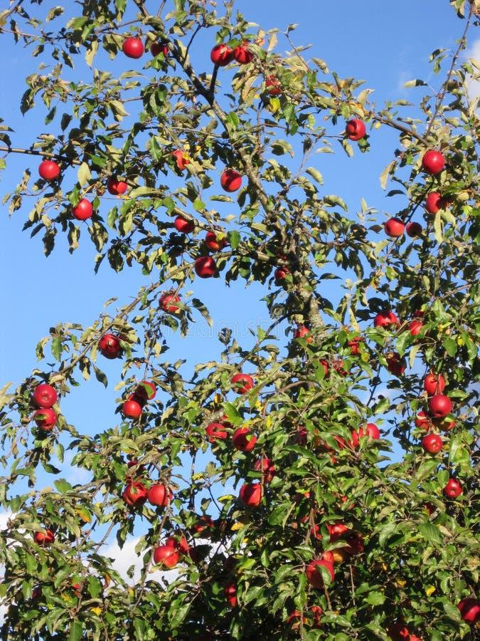 Czerwona jabłoń w mój vilage zdjęcia royalty free