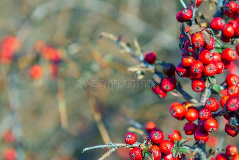 Czerwona jagoda nieznacznie susząca na krzaku psychodeliczny Srebny buffaloberry, Shepherdia argentea fotografia royalty free