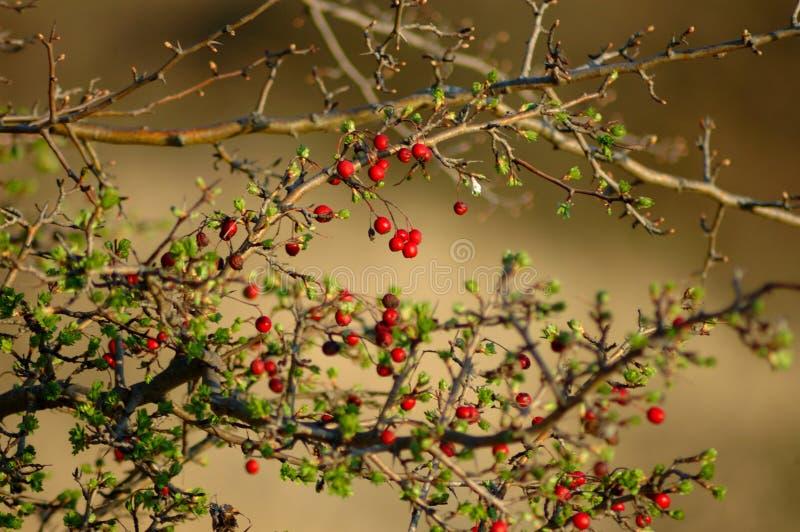 Czerwona jagoda w lesie royalty ilustracja