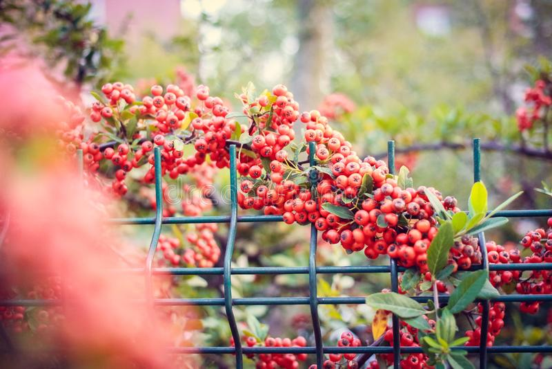 Czerwona jagody natura zdjęcia royalty free