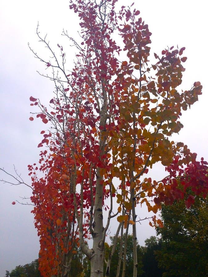 Czerwona jesień, brzoza, Piękny drzewo obraz stock