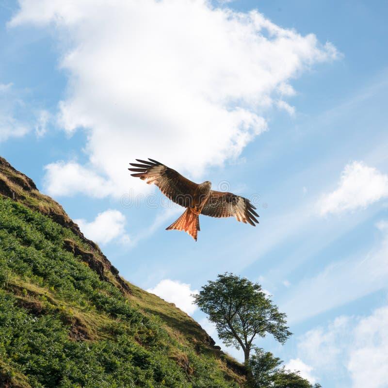 Czerwona kania przed zielonym wzgórzem fotografia stock