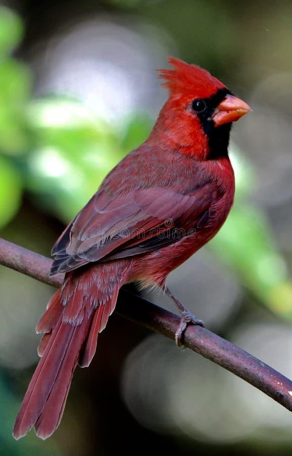 Czerwona koronowana męska kardynał zieleń bg zdjęcie royalty free