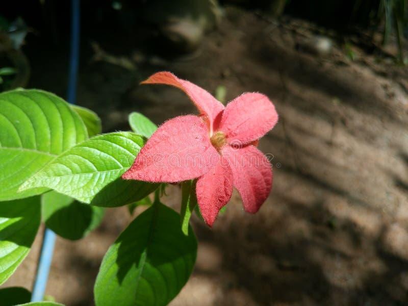 Czerwona królowa w Sri Lanka fotografia stock