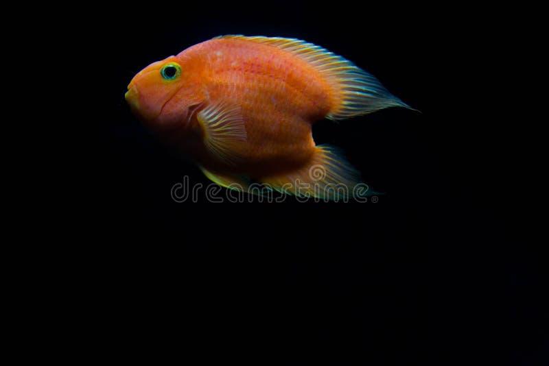 Download Czerwona Krwionośna Miłość Papug Ryba Zdjęcie Stock - Obraz złożonej z zwierzę, ikona: 57663242