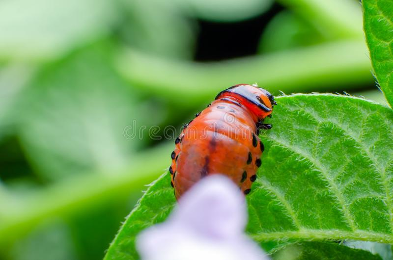 Czerwona larwa Kolorado kartoflana ?ciga je kartoflanych li?cie zdjęcie stock