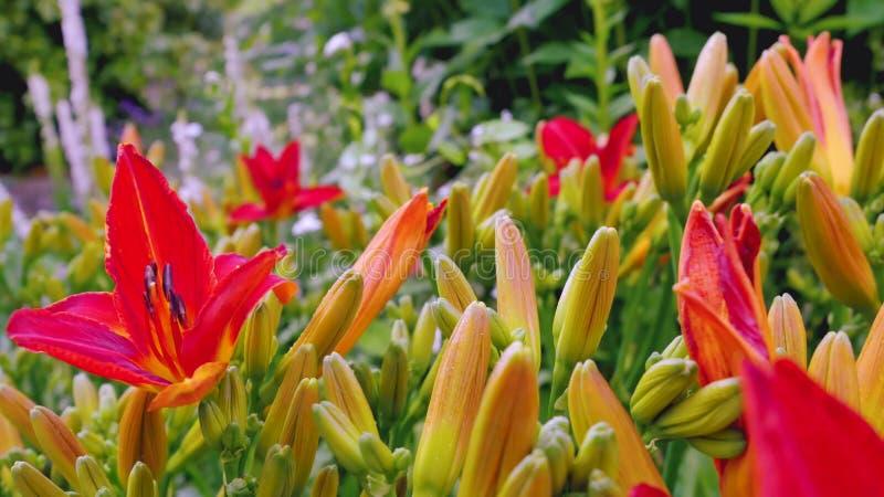 Czerwona leluja w ogródzie obrazy royalty free