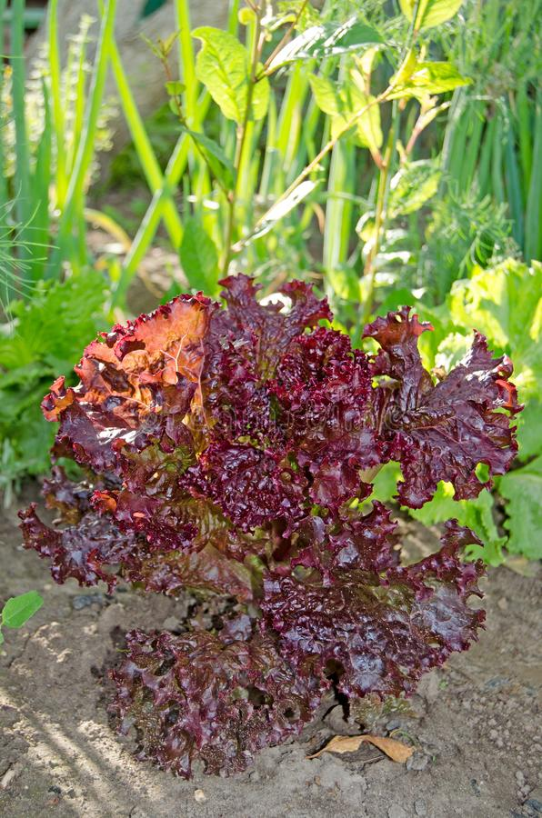 Czerwona liść sałatka w ogródzie obrazy stock