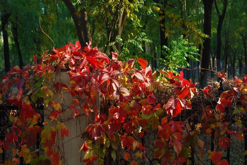 Czerwona liść ulica zdjęcie royalty free