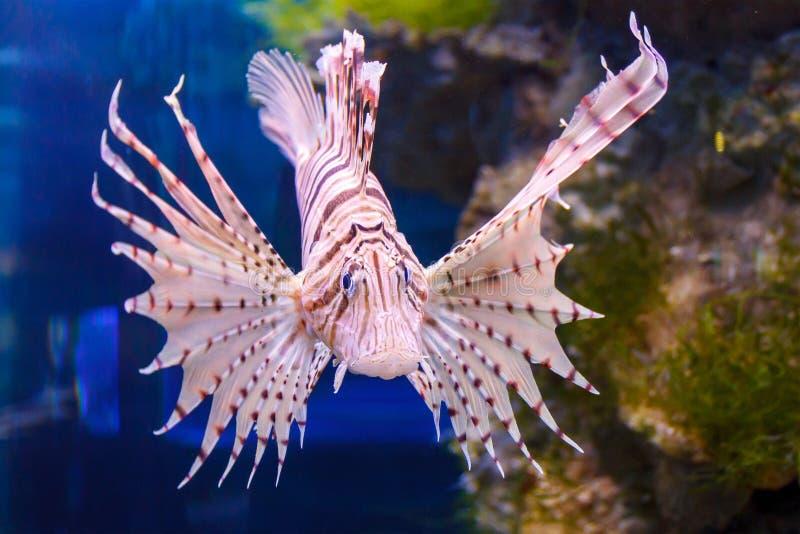 Czerwona lionfish Pterois volitans akwarium ryba Drapieżcza ryba z wachlarzowatymi żebrami które zawierają ostre jadowite igły zdjęcie royalty free