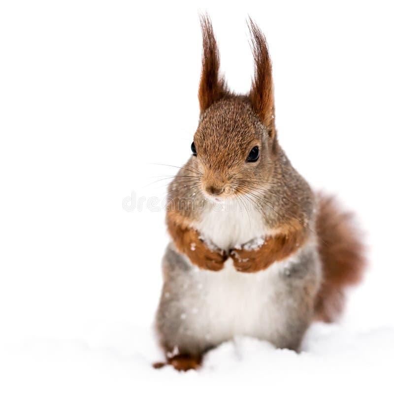 Czerwona mała śmieszna wiewiórka na śnieżnym tle fotografia stock