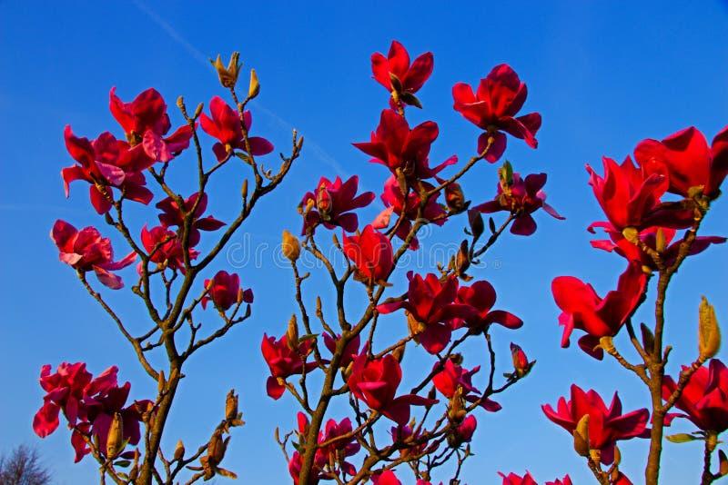 Czerwona magnolia zdjęcie stock