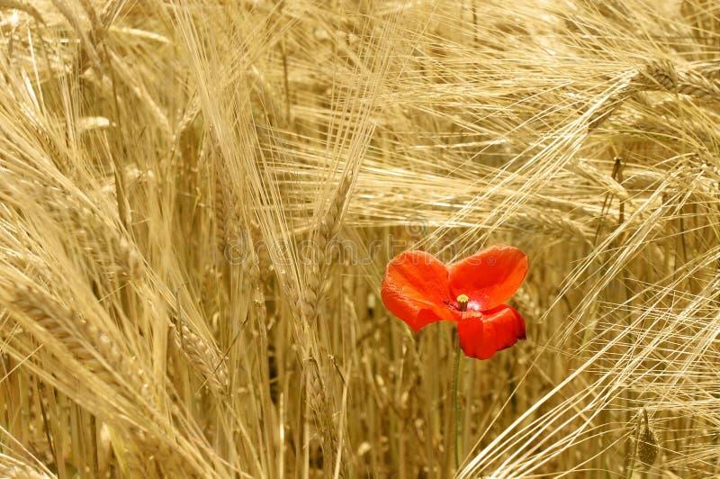 czerwona makowa dojrzałe zboże zdjęcia stock