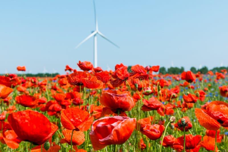 Czerwona makowa roślina w świetle słonecznym z pinwheel i niebieskim niebem zdjęcie stock