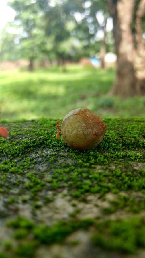 Czerwona mrówka zdjęcie stock