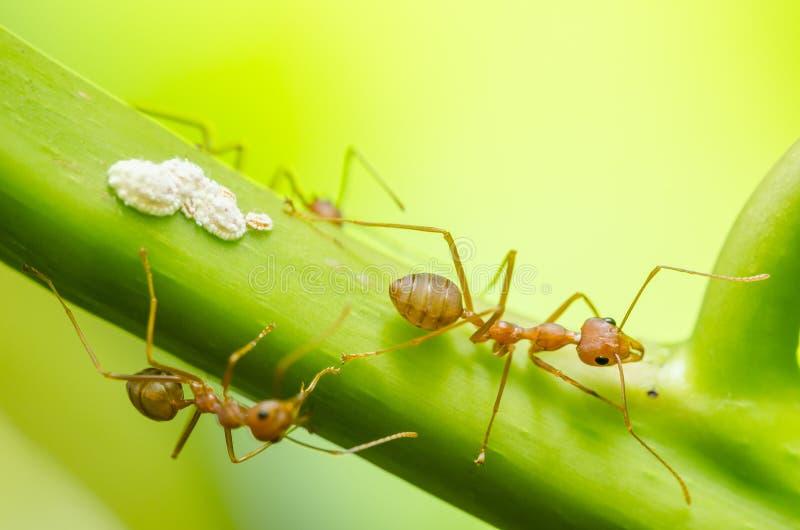 Czerwona mrówka i korówka na liściu zdjęcia stock