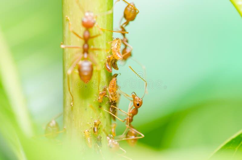 Czerwona mrówka i korówka na liściu fotografia stock