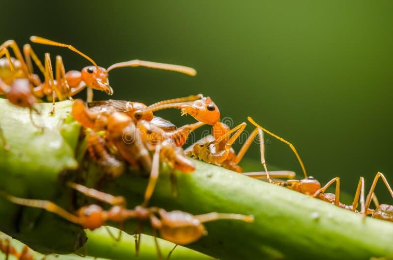 Czerwona mrówka i korówka na liściu fotografia royalty free
