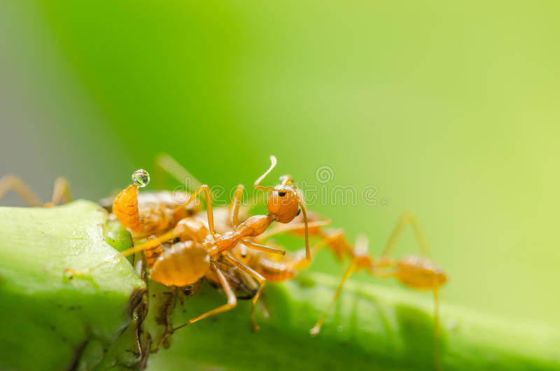 Czerwona mrówka i korówka na liściu obraz stock
