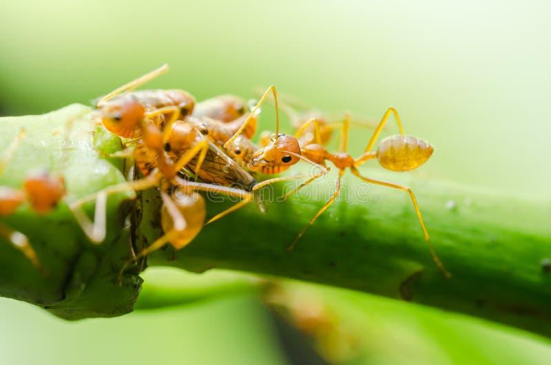 Czerwona mrówka i korówka na liściu zdjęcie royalty free