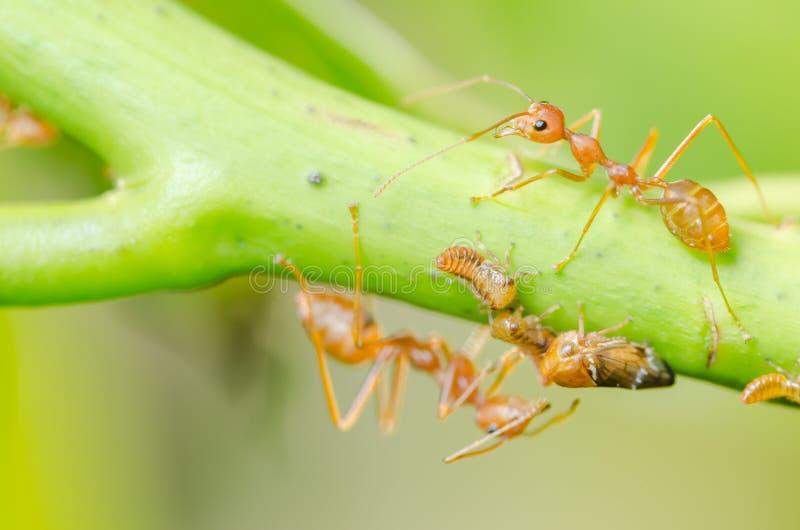 Czerwona mrówka i korówka na liściu obraz royalty free