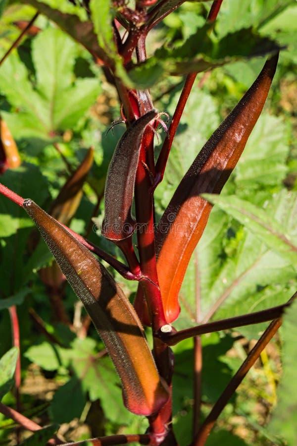 Czerwona Okra roślina obraz royalty free