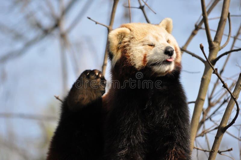 Czerwona panda lub Lesser panda zdjęcie royalty free