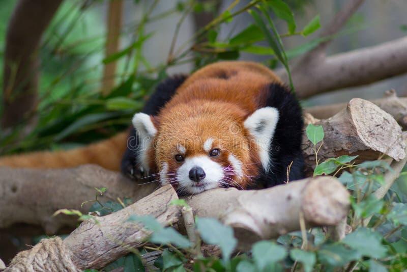 Czerwona panda lub Lesser panda, Firefox lying on the beach na gałąź fotografia stock