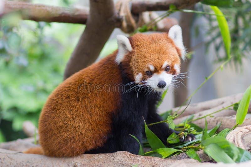 Czerwona panda lub Lesser panda, Firefox obsiadanie na gałąź zdjęcie stock