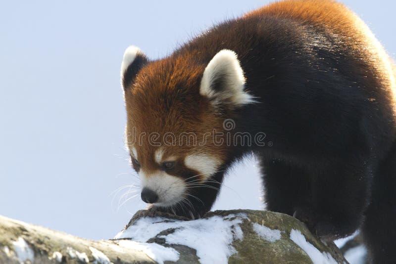 Czerwona panda na gałąź zdjęcie royalty free