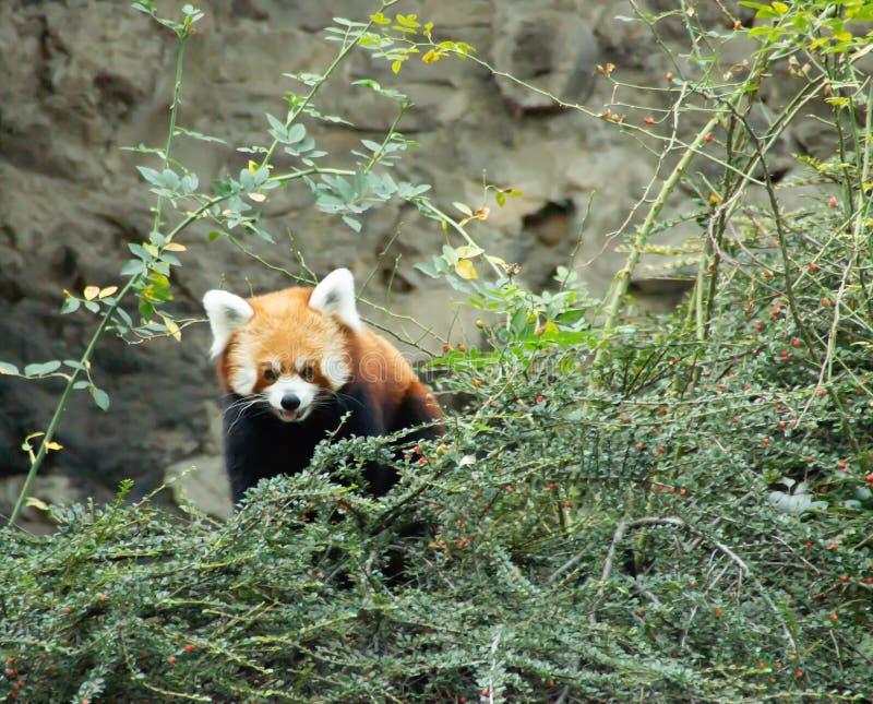Czerwona panda w drzewie zdjęcie royalty free