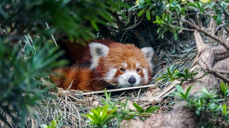 Czerwona panda za zielonymi drzewami w zwrotnik dżungli obraz royalty free