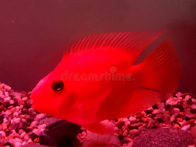 Czerwona papuga obrazy royalty free